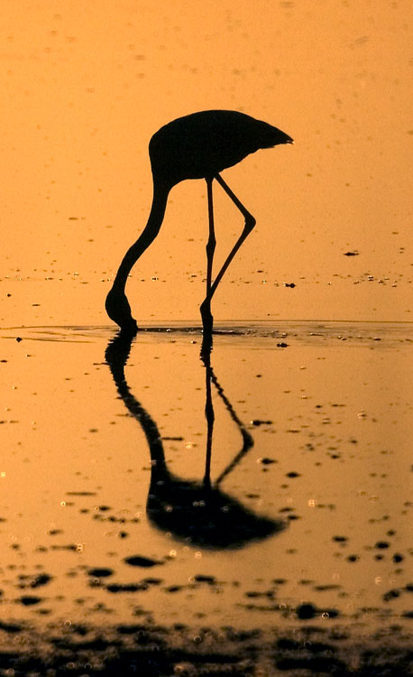 A flamingo feeding at sunset, Laguna de Fuente de Piedra May 2009