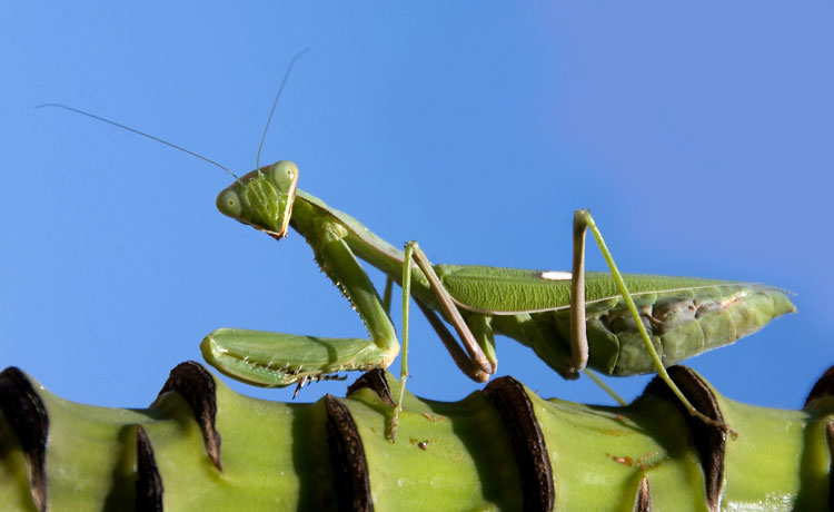A praying mantis sitting on the stalk of a banana plant, Guadalhorce Valley October 2008